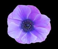 коронарный цветок Стоковое фото RF