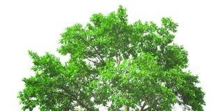 Корона свежего зеленого изолированного дерева стоковые изображения rf