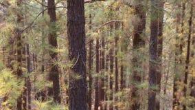 Корона Arafo Forestal в национальном парке Teide на Тенерифе с канереечной сосной акции видеоматериалы