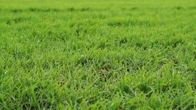 Короткая зеленая трава акции видеоматериалы