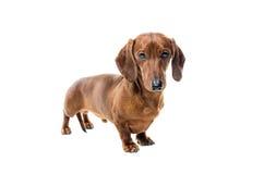 Короткая красная собака таксы, охотничья собака, изолированная над белой предпосылкой Стоковое Изображение