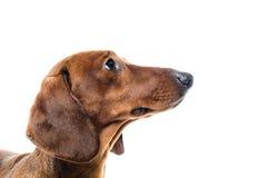 Короткая красная собака таксы, охотничья собака, изолированная над белой предпосылкой Стоковое Изображение RF