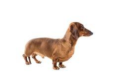 Короткая красная собака таксы, охотничья собака, изолированная над белой предпосылкой Стоковое Фото