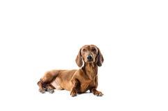 Короткая красная собака таксы, охотничья собака, изолированная над белой предпосылкой Стоковые Фото