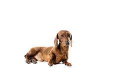 Короткая красная собака таксы, охотничья собака, изолированная над белой предпосылкой Стоковая Фотография