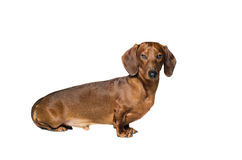 Короткая красная собака таксы, охотничья собака, изолированная над белой предпосылкой Стоковое фото RF