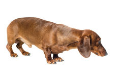 Короткая красная собака таксы, охотничья собака, изолированная над белой предпосылкой Стоковые Фотографии RF