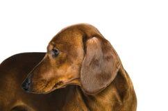 Короткая красная собака таксы, охотничья собака, изолированная над белой предпосылкой Стоковые Изображения