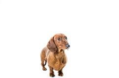 Короткая красная собака таксы, охотничья собака, изолированная над белой предпосылкой Стоковая Фотография RF