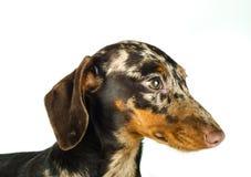 Короткая мраморная собака таксы, охотничья собака, изолированная над белой предпосылкой Стоковые Изображения RF