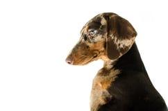 Короткая мраморная собака таксы, охотничья собака, изолированная над белой предпосылкой Стоковое Изображение