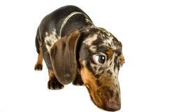Короткая мраморная собака таксы, охотничья собака, изолированная над белой предпосылкой Стоковое Изображение RF