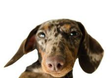 Короткая мраморная собака таксы, охотничья собака, изолированная над белой предпосылкой Стоковые Фото