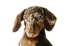 Короткая мраморная собака таксы, охотничья собака, изолированная над белой предпосылкой Стоковая Фотография