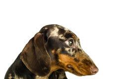 Короткая мраморная собака таксы, охотничья собака, изолированная над белой предпосылкой, конец вверх Стоковое Изображение