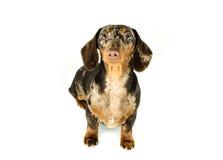 Короткая мраморная такса собака сидит смотрит вперед, охотничья собака, изолировала на белой предпосылке Стоковое фото RF