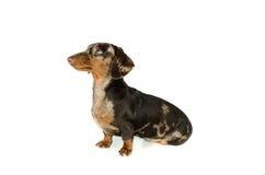 Короткая мраморная такса собака сидит смотрит прочь, охотничья собака, изолировала на белой предпосылке Стоковое Изображение RF