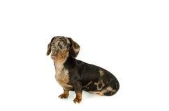 Короткая мраморная такса собака сидит смотрит прочь, охотничья собака, изолировала на белой предпосылке Стоковая Фотография RF