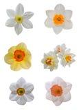 Короткий изолированный daffodil чашки Стоковые Изображения