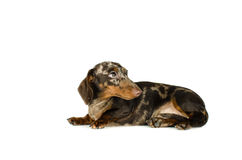 Короткий мраморный лежать собаки таксы смотрит прочь, охотничья собака, изолировал на белой предпосылке Стоковое Изображение