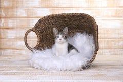 Короткий с волосами котенок с большими глазами Стоковое фото RF