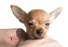 Короткий с волосами щенок чихуахуа Стоковые Изображения RF