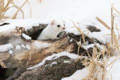 Коротк-замкнутая ласка в зиме Стоковые Фото