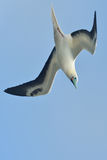 Коротк-замкнутый альбатрос Стоковая Фотография RF