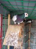 Коротк-лицый голубь, Valcencian Figurtia стоковое изображение