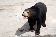 Коротк-с волосами азиатский черный медведь Стоковая Фотография RF
