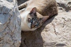 Коротк-с волосами кот при голубые глазы лежа на утесах, ослабляя Стоковое Изображение