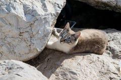 Коротк-с волосами кот при голубые глазы лежа на утесах Стоковые Изображения RF