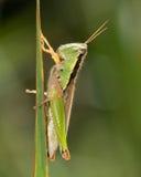 Коротк-horned кузнечик Стоковое фото RF