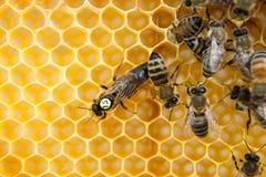Королева пчел в крапивнице пчелы кладя яичка стоковая фотография rf