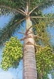 Королевская ладонь (Regia королевской пальмы (HBK ) Кашевар ), то Стоковые Фотографии RF