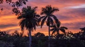 Королевская пальма на заходе солнца Стоковая Фотография