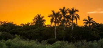 Королевская пальма на заходе солнца Стоковое фото RF