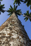 Королевская пальма Oleracea - реальная ладонь - заводы Стоковое фото RF