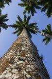 Королевская пальма Oleracea - реальная ладонь - заводы Стоковое Фото