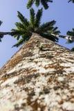 Королевская пальма Oleracea - реальная ладонь - заводы Стоковая Фотография RF