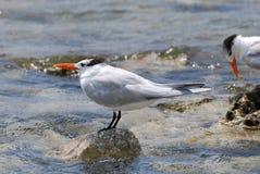 Королевские птицы тройки балансируя на утесах выступающих из воды Стоковые Изображения
