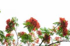 Королевский зацветать дерева пламени poinciana Стоковое Фото