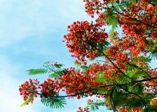 Королевский зацветать цветка Poinciana Стоковое Фото