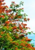 Королевский зацветать цветка Poinciana Стоковая Фотография