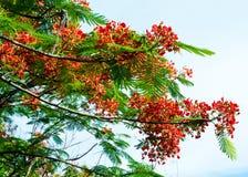Королевский зацветать цветка Poinciana Стоковые Изображения