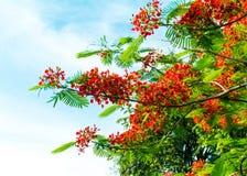 Королевский зацветать цветка Poinciana Стоковые Фотографии RF