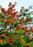 Королевский зацветать цветка Poinciana Стоковая Фотография RF