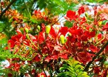 Королевский зацветать цветка Poinciana Стоковые Изображения RF