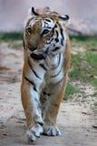 Королевский идти тигра Бенгалии Стоковая Фотография