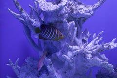 Королевский конец angelfish вверх Стоковое фото RF